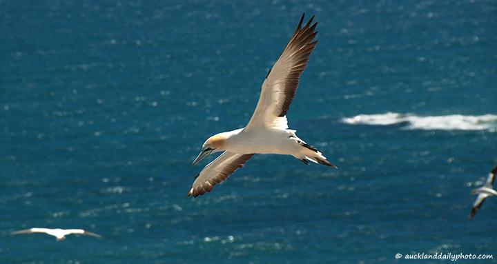 Gannet in flight at Muriwai