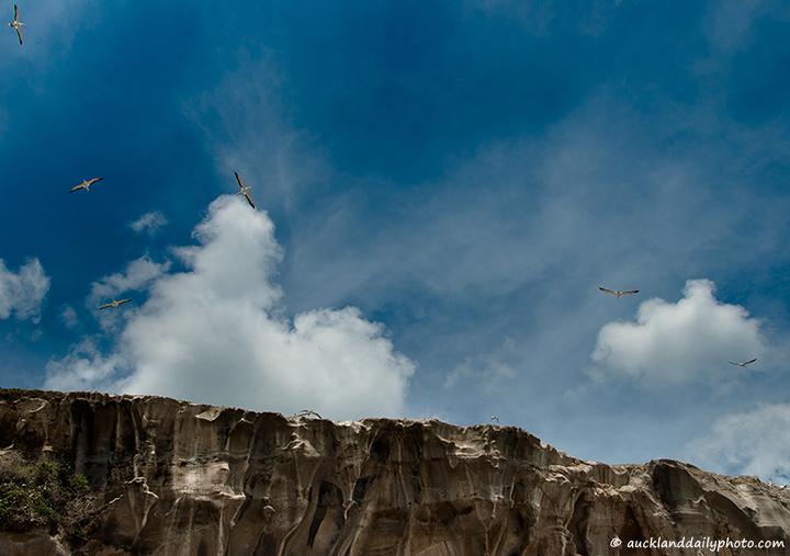 Gannets of Muriwai
