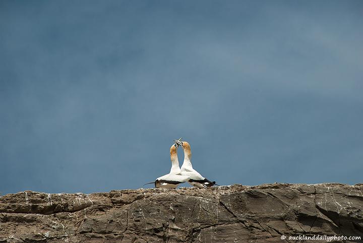 Gannet romance