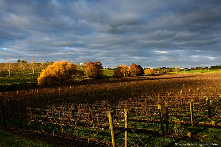 Sundown over the vineyard