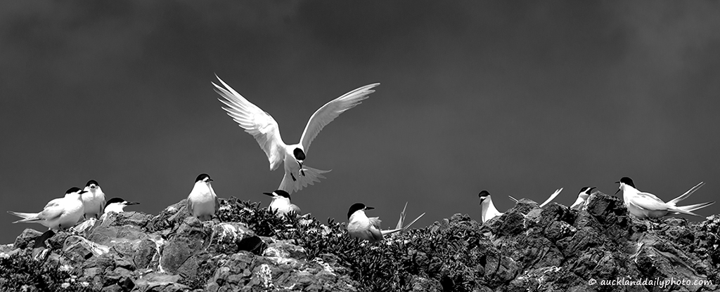 Whatipu Terns