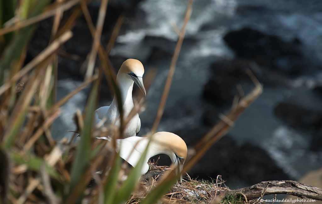 Gannets preparing the nest