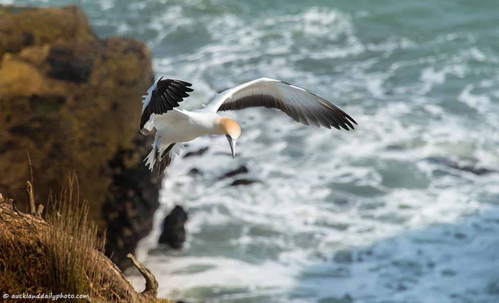 Gannet preparing for landing