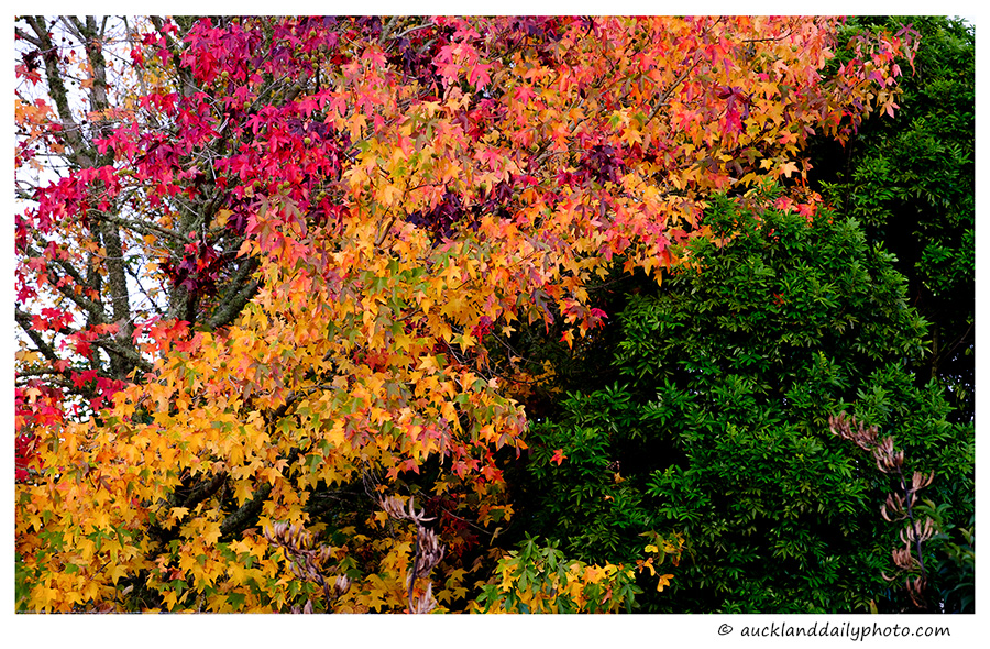 Auckland Autumn Colours